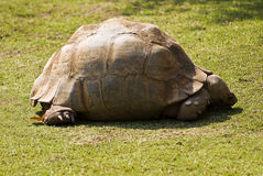 Leopard Tortoise in the Sun Stock Photography