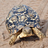 Leopard tortoise in track footprints Stock Image