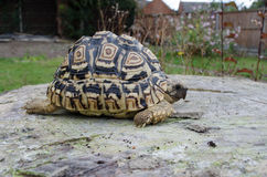 Leopard Tortoise on a Tree Stump Royalty Free Stock Photo