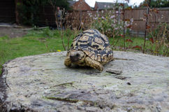 Leopard Tortoise on a Tree Stump Royalty Free Stock Photography