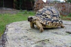 Leopard Tortoise on a Tree Stump Royalty Free Stock Photos