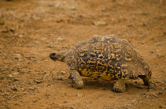 Leopard tortoise walking Royalty Free Stock Photo