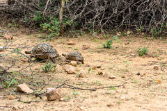 Leopard tortoise walking Royalty Free Stock Images