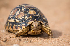 Leopard tortoise walking slowly on sand with protective shell Royalty Free Stock Photos