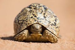 Leopard tortoise walking slowly on sand with protective shell Stock Images