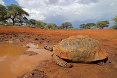 Leopard tortoise at a waterhole royalty free stock photography