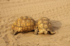 Southern african animals. Leopard tortoises fighting on the road Royalty Free Stock Photo
