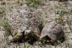 Leopard Tortoises In Serengeti Stock Images