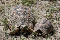 Leopard Tortoises In Serengeti stock images