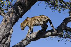 Leopard on a tree. Big male leopard in the Kruger National park. South Africa royalty free stock photography