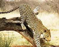 Leopard on tree. Leopard in the african bush Stock Image
