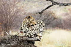 Leopard on tree. Leopard on the tree in bush Royalty Free Stock Image