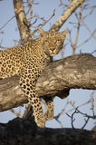 Leopard in a tree. Looking lazy Royalty Free Stock Photography