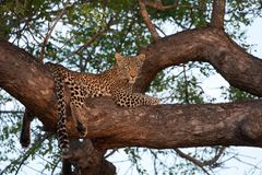 Leopard in tree Stock Image