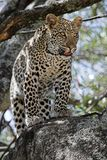 Leopard in Tree. Leopard standing in tree during daytime Royalty Free Stock Photo