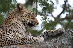 Leopard on a tree royalty free stock photo
