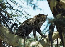 Leopard in tree. Leopard in fevertree. Ngorongoro crater, Tanzania Royalty Free Stock Photos