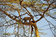 Leopard on Tree Royalty Free Stock Image