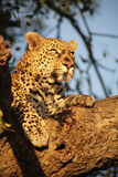 Leopard in a tree stock photos