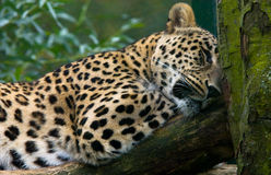 Leopard tree Stock Images