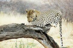Leopard on tree Stock Photos