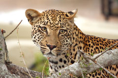 Leopard in a tree Royalty Free Stock Images