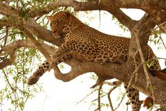 Leopard in a tree. In the Sabi Sands Reserve Royalty Free Stock Image
