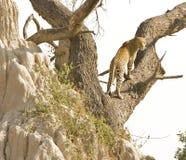 Leopard on tree. Leopard (panthera pardus) on a tree, Okavango Delta, Botswana Royalty Free Stock Image