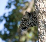 Leopard in a tree Stock Photo