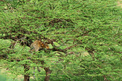 Leopard on the tree Stock Images