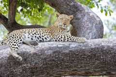 Leopard on tree, Africa. Closeup of beautiful leopard on tree in Botswana, Africa Stock Photos
