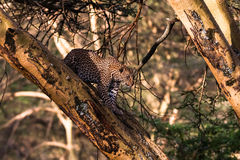 Leopard on a tree in an ambush. Royalty Free Stock Photo