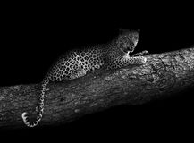 Leopard in a tree (artistic edit) Stock Photos