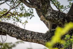 Leopard in a tree. Royalty Free Stock Photos