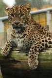 Leopard in a tree. Detail face leopard which siting on the brunch royalty free stock photos