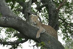 Leopard in a tree. Female leopard resting Africa Botswana Stock Photos