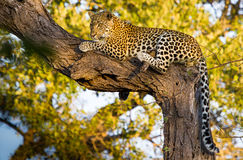 Leopard in tree Stock Photography