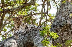 Leopard on a tree. Royalty Free Stock Images