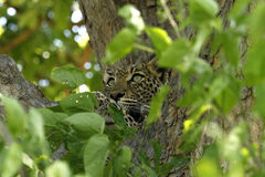 Leopard Tree House Royalty Free Stock Photos