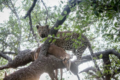 Leopard in a tree with an Impala kill. Royalty Free Stock Photos