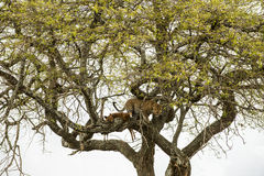 Leopard in a tree with its prey, Serengeti, Tanzania Stock Photos