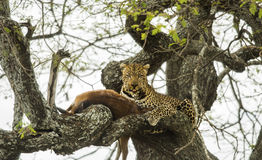 Leopard in a tree with its prey, Serengeti, Tanzania Royalty Free Stock Photography