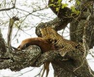 Leopard in a tree with its prey, Serengeti, Tanzania Stock Image