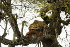 Leopard in a tree with its prey, Serengeti, Tanzania Royalty Free Stock Photo