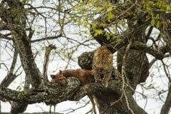 Leopard in a tree with its prey, Serengeti, Tanzania Stock Photo