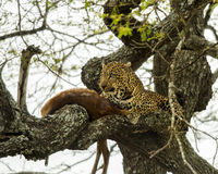 Leopard in a tree with its prey, Serengeti, Tanzania Royalty Free Stock Photos