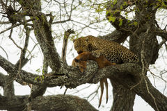 Leopard in a tree with its prey, Serengeti, Tanzania Stock Photography