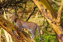 Leopard on the tree. Kenyan views Royalty Free Stock Photo