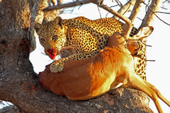 Leopard in a tree with kill Royalty Free Stock Images