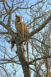 Leopard in a tree with kill Stock Images